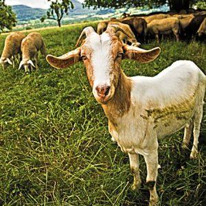 Drobnica koze
